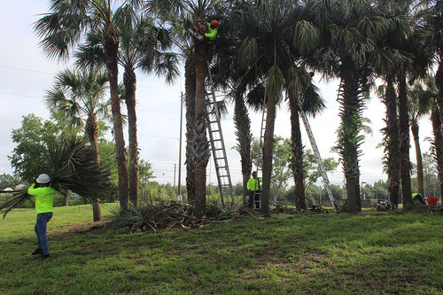Tree Trimming | Arango Landscaping